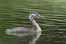 Great crested grebe_1