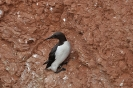 Common murre - Zeekoet_2