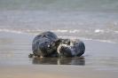 Grey seals_1